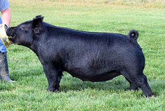 G Amp S Swine Females